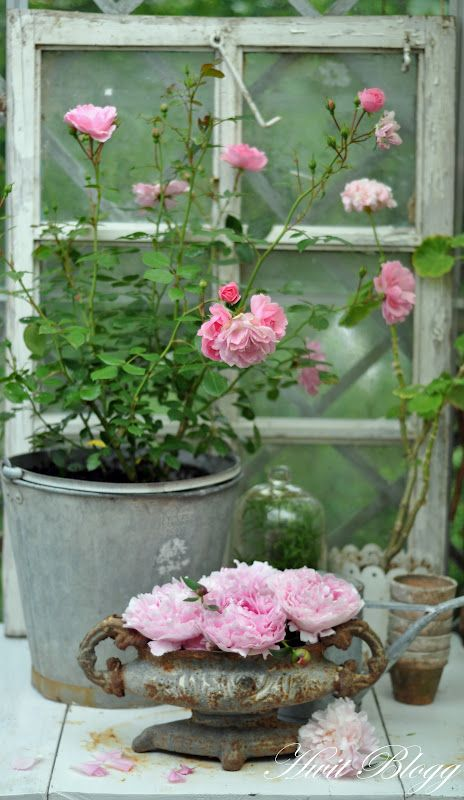 garden | image | photo | still life | roses | country | chic | shabby | pealing paint | pealed paint | rust | galvanized | flowers | petals | pink | window | old | vintage | rustic | home | house | design | decorations | decor | interior |