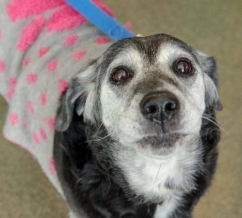 Zora - Labrador retriever Mix - Female - 10 yrs old -  Last Day Dog Rescue - Livonia, MI.