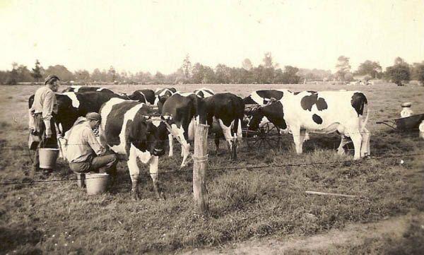koeien melken met de hand
