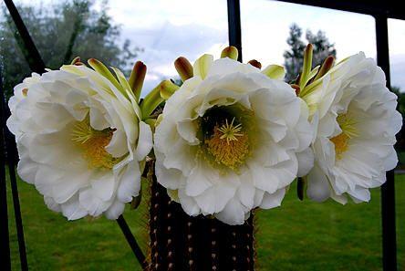 Trichocereus spachianus en andere bloeiende cactussen - Trichocereus, mogelijks T. spachianus