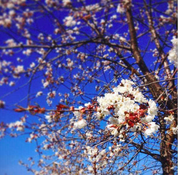 Pretty apple tree flowers