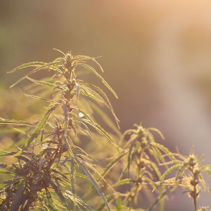How to protect your cannabis from heat stress