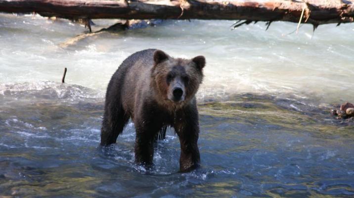 Grizzly bjørn ved Campbell River