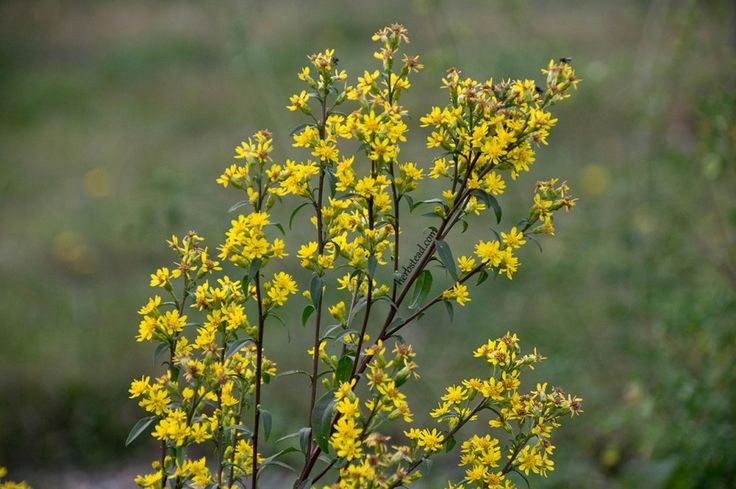 European goldenrod  is a lovely flowering herb commonly used for upper respiratory, urinary tract problems, vein health, arthritis and muscle soreness.