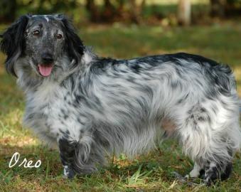 Oreo...long haired standard dachshund