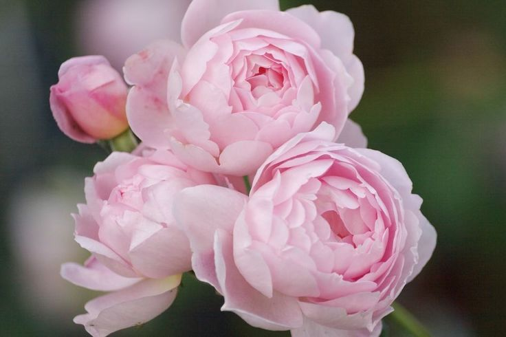 David Austin rose 'Scepter'd Isle'