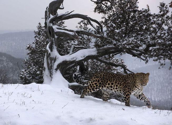 Дальневосточный леопард.  Приморье, территория национального парка «Земля Леопарда». Дальневосточный леопард – редчайшая из больших кошек в мире. В дикой природе осталось около 70 этих великолепных животных. Это самый северный подвид леопарда и обитает он на Дальнем Востоке нашей страны.