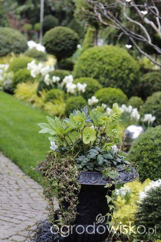 Ogród nie tylko bukszpanowy - część III - strona 529 - Forum ogrodnicze - Ogrodowisko