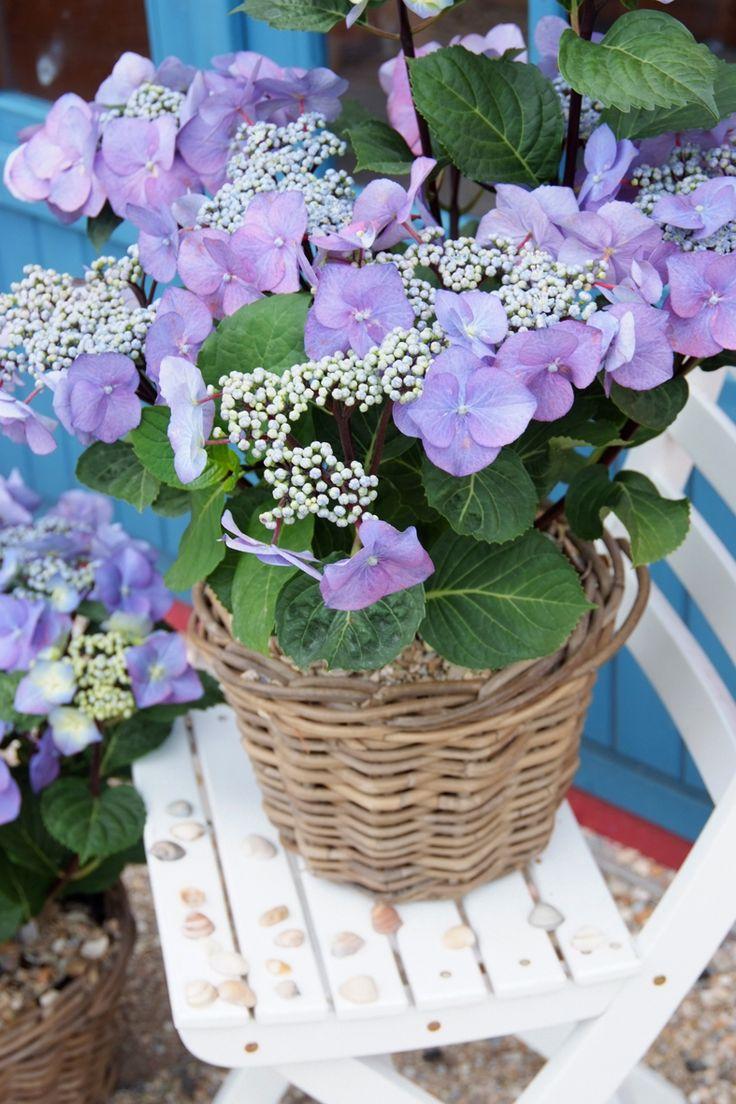 De heldere, blauwe kleur van je #hortensia's behoud je met speciale blauwkleurings #meststoffen.