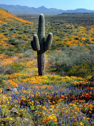 az wildflowers: Spring Flowers, Az Wildflowers, Sonoran Desert, Southwest Desert, Arizona Wildflowers, Arizona Desert, Desert Colors, Travel Ideas, Southwest Gardens Ideas
