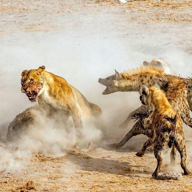 Best 25+ Female Lion Ideas On Pinterest