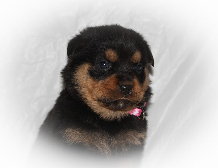 Cheyenne A Female Akc Rottweiler Puppy For Sale In Indiana
