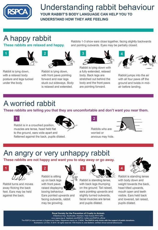 Rabbit behavior