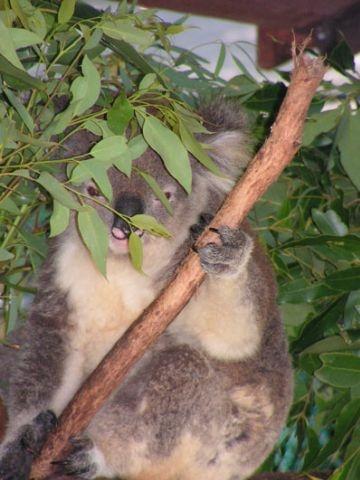 Koala hospitaal in Port Macquarie. Een van de koala's die gespot werden in de bomen. Camperreis Down Under/Australië. 2005.