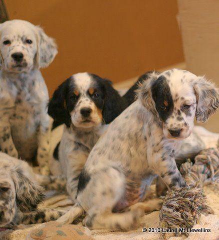 Llewellin Setter pups