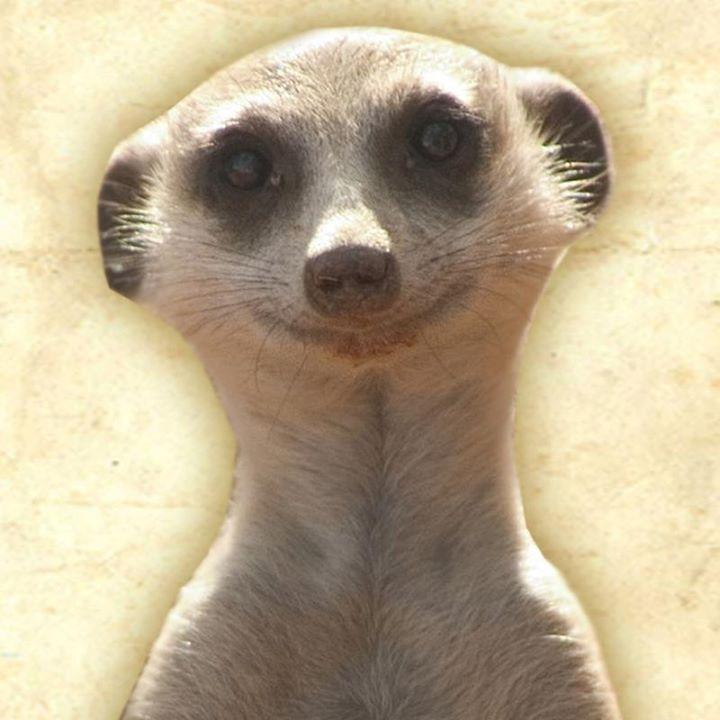 Vidéo hilarante d'un suricate qui est mort de rire quand on le chatouille, la vidéo est posté par une ferme du Northumberland au Royaume-Uni