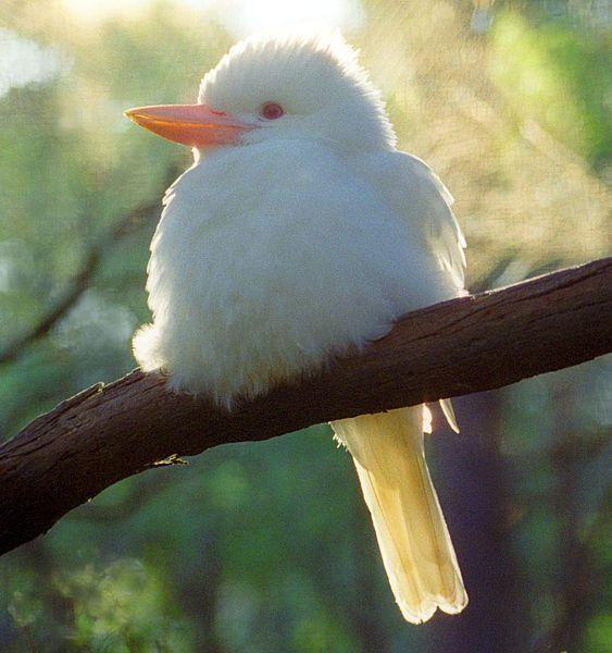 Albino kookaburra (Dacelo novaeguineae)