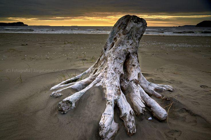 https://flic.kr/p/BmSckh | El tronco de Pangal - Maullin (Patagonia - Chile) | Maullin se ubica a 57 kilómetros al este de Puerto Montt, en la Provincia de Llanquihue, Region de los Lagos. Este pequeño poblado situado a orillas del Río homónimo, posee atractivos naturales como la playa Pangal, Puerto Godoy, Quillagua y los Humedales del Rio Maullin.  Pangal es la playa principal y queda al suroeste de Maullin entre las desembocaduras de los ríos San Pedro Amortajado y Río Maullin. De…