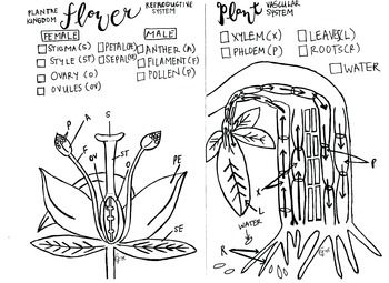 #plants #reprodution #xylem #phloem #color #biology #science I made this coloring sheet to show the vascular system of plants in a different way. I also wanted to reinforce the source of pollen in plants.