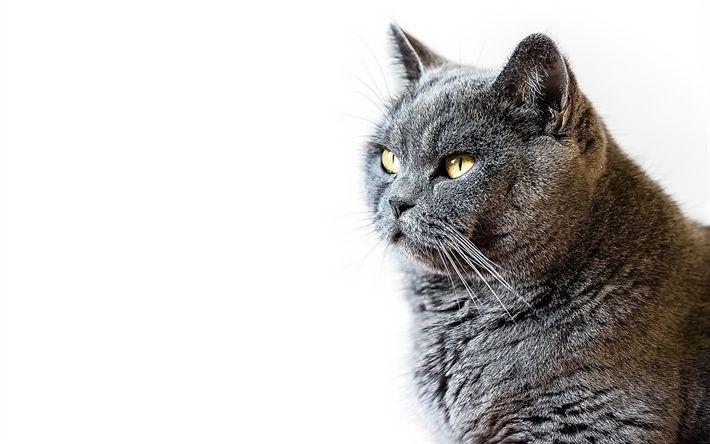 Download wallpapers british shorthair cat, pets, portrait, beautiful gray cat, cat breeds