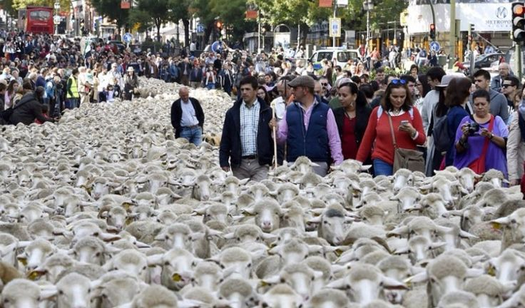 2,000 sheep invade Madrid city centre in shepherds' protest