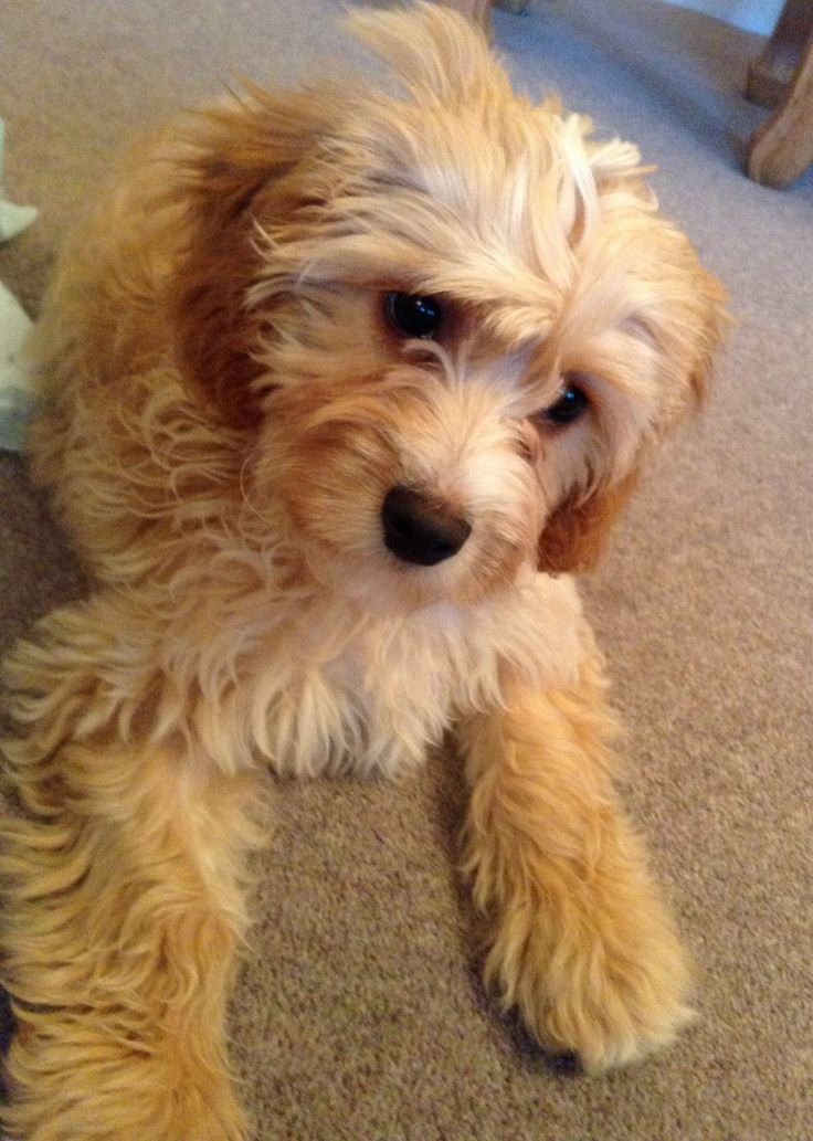 1000 images about cavapoos are the best on pinterest