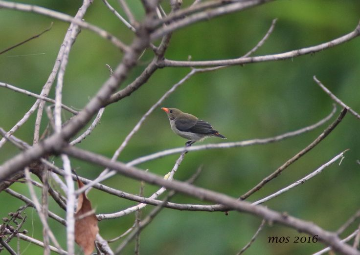 a cute flowerpecker