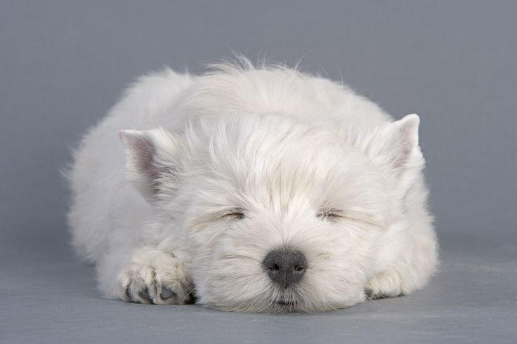 le #chiot dort !