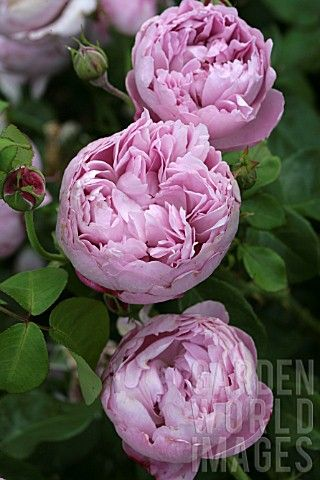 ROSA CHARLES RENNIE MACKINTOSH  http://www.davidaustinroses.com/american/showrose.asp?showr=947