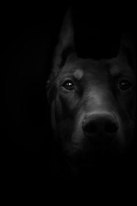 Doberman from the shadows.