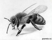 Как нарисовать реалистичную пчелу простым карндашом