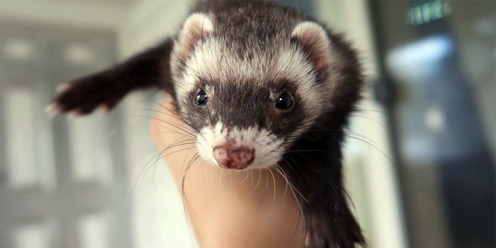Are Ferrets Good Pets For You Ferret As Pets In 2020 Ferret