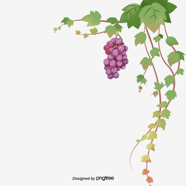 Grape Grape Leaves Green Grapes Fruit Png Transparent Clipart Image And Psd File For Free Download Grapes Green Grapes Fruit Art