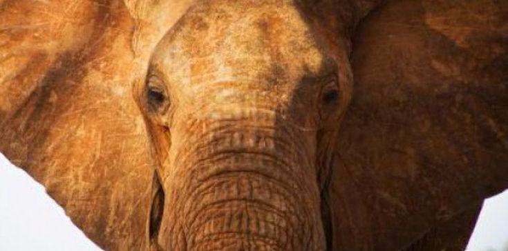 Satao, un des plus grands éléphants d'Afrique a été braconné pour ses défenses dans laréservenaturelle deTsavo.