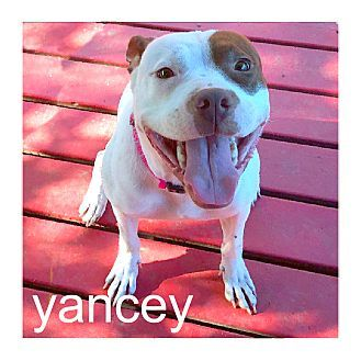 Dallas, TX - American Staffordshire Terrier/American Pit Bull Terrier Mix. Meet Yancey, a dog for adoption. http://www.adoptapet.com/pet/15866460-dallas-texas-american-staffordshire-terrier-mix