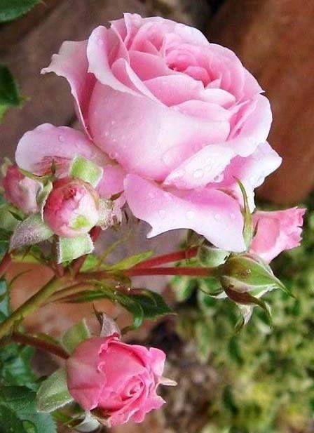 Vintage Shabby Pink Rose