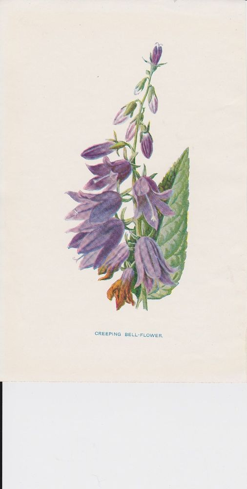 1897 Antique Creeping Bell-flower lithograph print by Hulme.