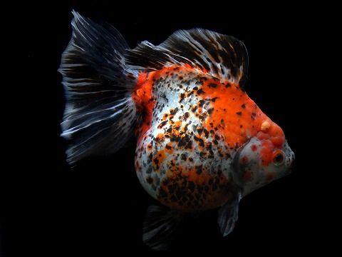 Oranda Gold Fish 8