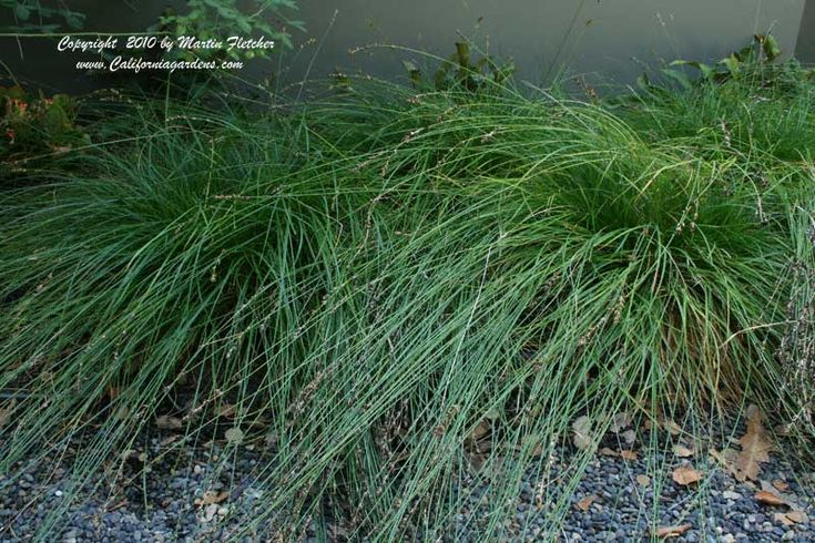 """Carex tumulicola grows in beautiful arching clumps.  The foliage stays dark green with less water and help than Creeping Red Fescue.  This Carex doesn't run as much as Carex pansa or Carex praegracilis.  The blades of this grasslike plant can get as much as 18"""" long."""