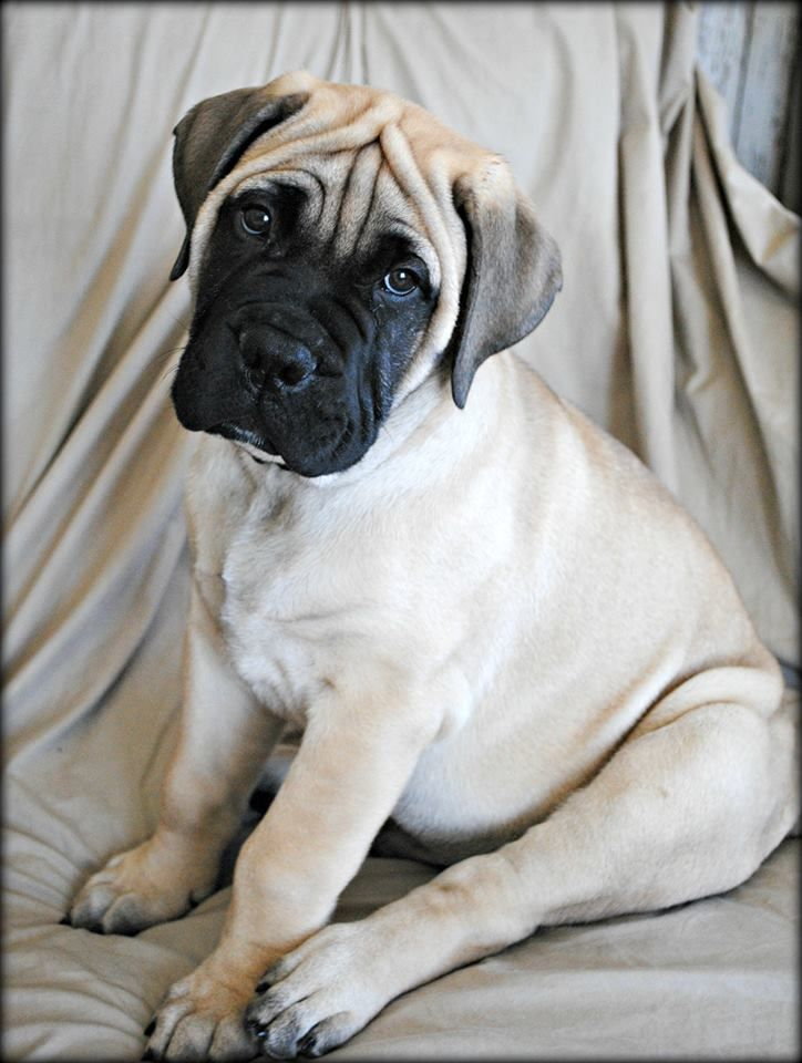 Harbor bullmastiff puppy 10 weeks