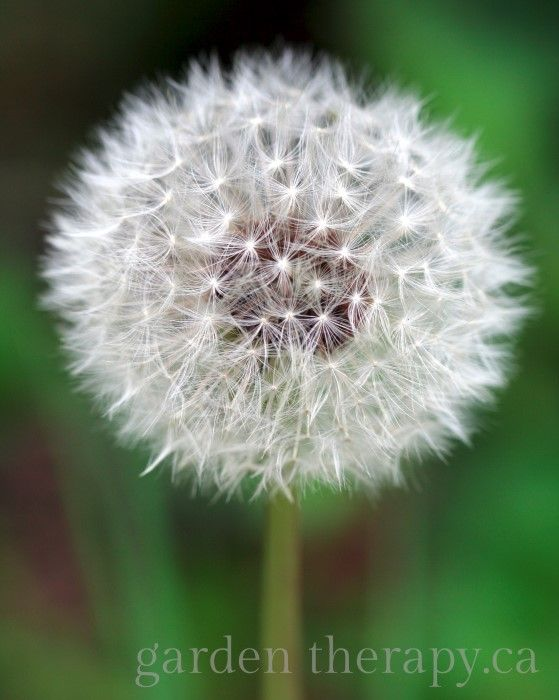 Learn how to identify weeds in your garden so you know how to care for them. These are basic tips and tricks for the home gardener to identify weeds.