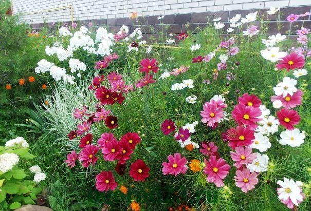 Однолетние цветы, цветущие все лето без рассады - название и фото космеи