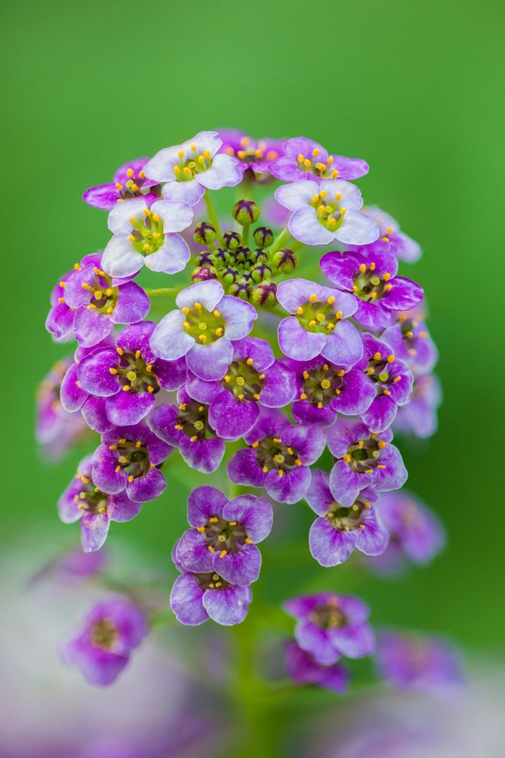 ~~It's a Small Small World | Tiny flowers Lobularia ...