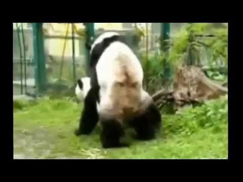 Панды_и_любовь_Дикие_животные Pandas_and_love Funny_Animals