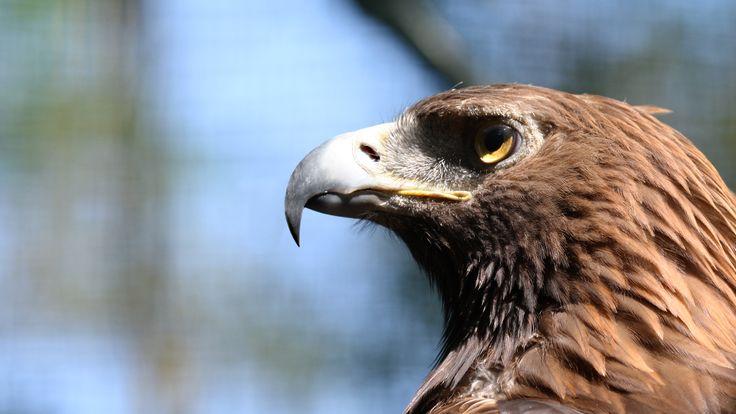 Hawk at WWF reserve in Vanzago (MI) - Italy