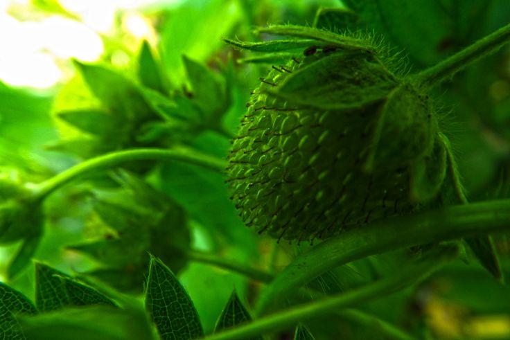 green strawbery