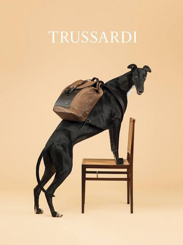Des Lévriers se transforment en mannequins pour Trussardi - Insolite - Wamiz