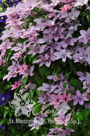 17 best images about clematis on pinterest white flowers warsaw and plants. Black Bedroom Furniture Sets. Home Design Ideas