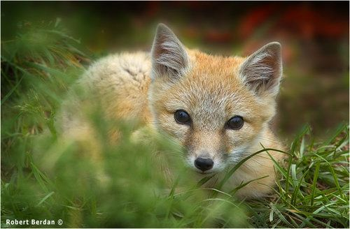 1000+ images about Baby foxes on Pinterest   Too cute, Red ...