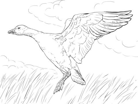 Landing Snow Goose Coloring page